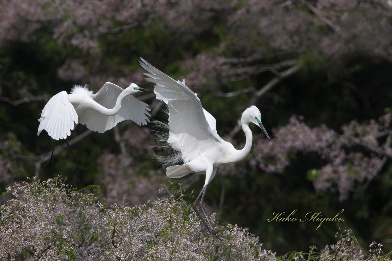 亜種チュウダイサギ(Great Egret)・・・1_d0013455_23041114.jpg