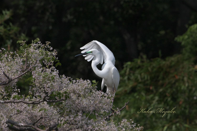 亜種チュウダイサギ(Great Egret)・・・1_d0013455_23041870.jpg