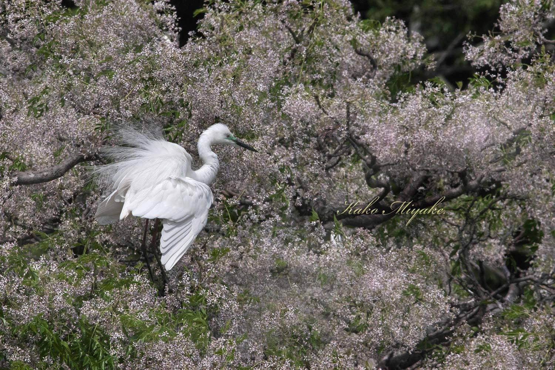 亜種チュウダイサギ(Great Egret)・・・1_d0013455_23042169.jpg