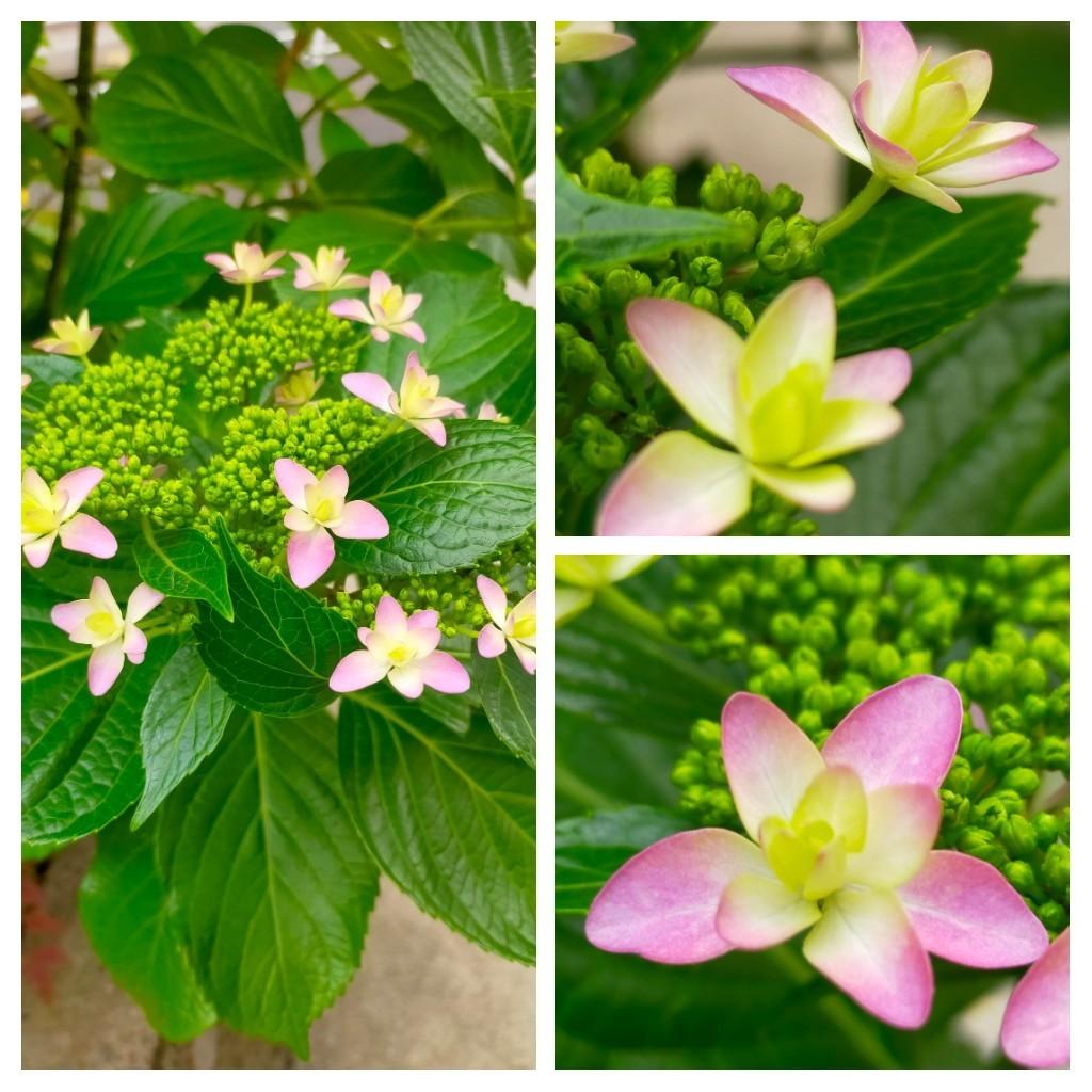 紫陽花と八重のドクダミとナスのかば焼き丼_c0162773_20380893.jpg