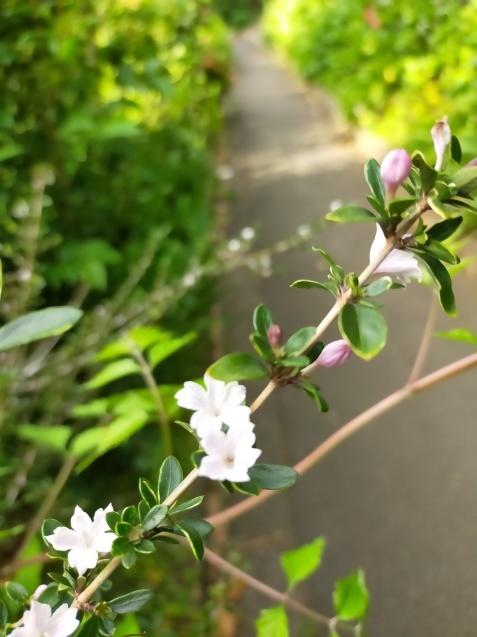 紫陽花と八重のドクダミとナスのかば焼き丼_c0162773_20432037.jpg
