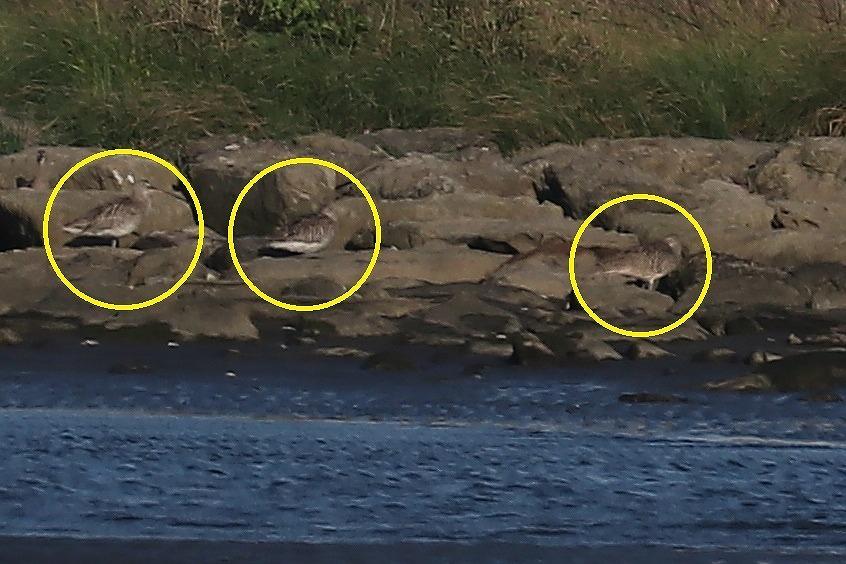 まだキアシシギがいましたが・・・@葛西海浜公園(2021.5.23)_c0403273_23325172.jpg