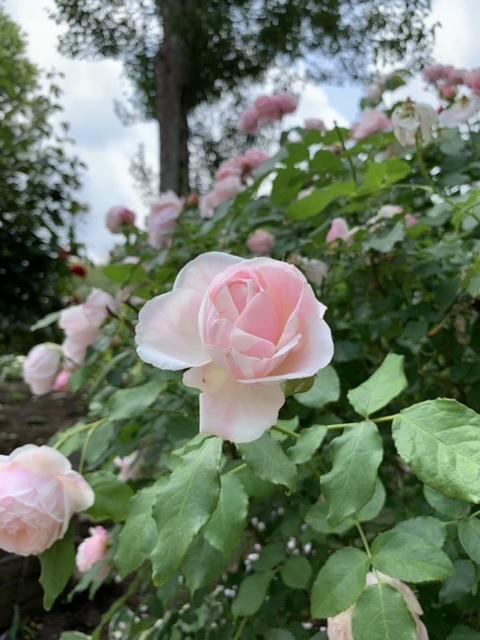 薔薇の季節に_e0404027_22172549.jpeg