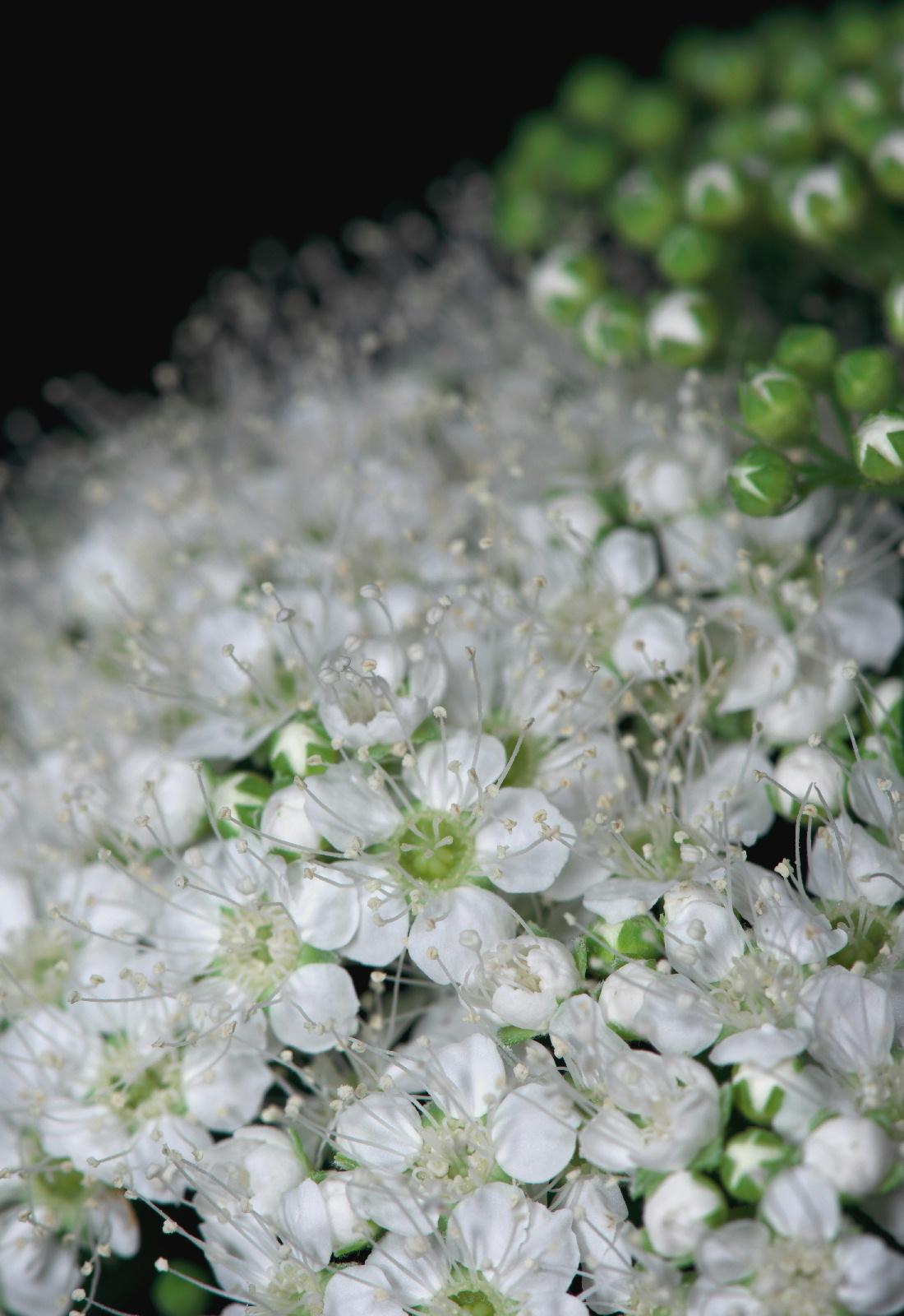 天体望遠鏡でお庭の花を撮る遊び_f0346040_21144166.jpg
