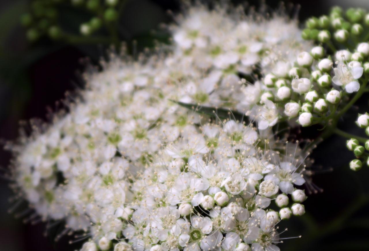 天体望遠鏡でお庭の花を撮る遊び_f0346040_21473283.jpg