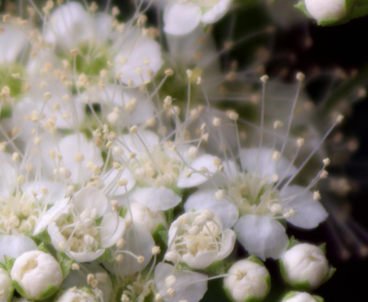 天体望遠鏡でお庭の花を撮る遊び_f0346040_21505607.jpg