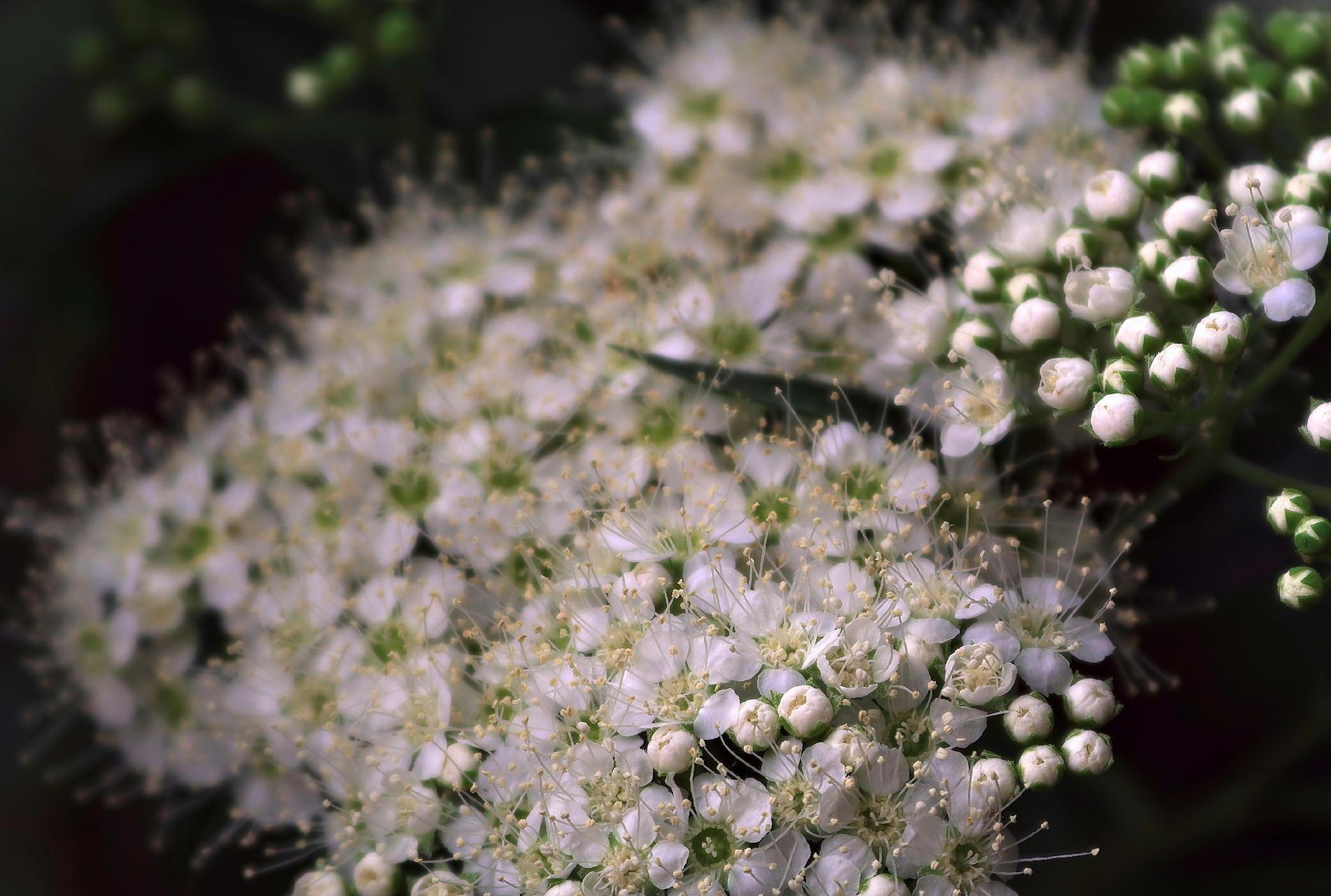 天体望遠鏡でお庭の花を撮る遊び_f0346040_22593895.jpg