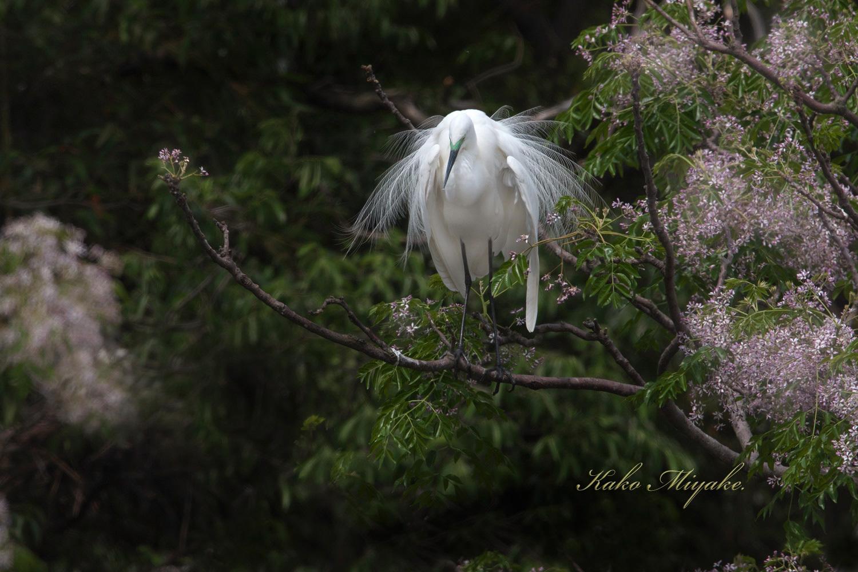 亜種チュウダイサギ(Great Egret)・・・2_d0013455_20475865.jpg