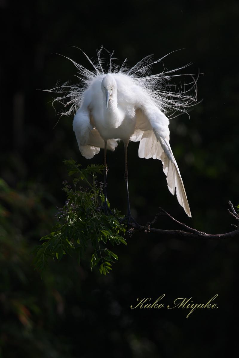 亜種チュウダイサギ(Great Egret)・・・2_d0013455_20485092.jpg