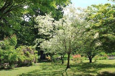 弘前城植物園のハンカチツリー_2021.05.24撮影_d0131668_11394721.jpg