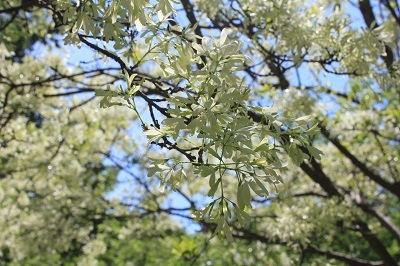 弘前城植物園のハンカチツリー_2021.05.24撮影_d0131668_11413121.jpg