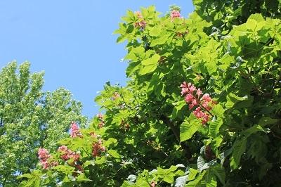 弘前城植物園のハンカチツリー_2021.05.24撮影_d0131668_11434442.jpg