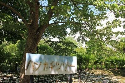 弘前城植物園のハンカチツリー_2021.05.24撮影_d0131668_11442215.jpg