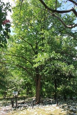弘前城植物園のハンカチツリー_2021.05.24撮影_d0131668_11450926.jpg