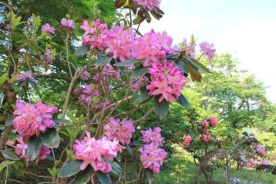 弘前城植物園のハンカチツリー_2021.05.24撮影_d0131668_11462259.jpg
