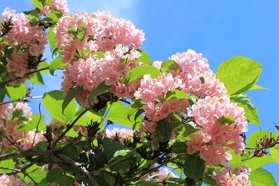 弘前城植物園のハンカチツリー_2021.05.24撮影_d0131668_11464645.jpg