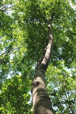 弘前城植物園のハンカチツリー_2021.05.24撮影_d0131668_11514120.jpg