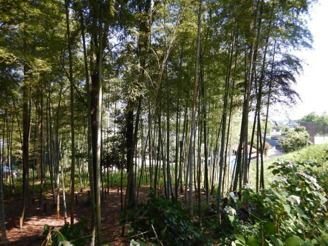 竹林の様子_c0401306_11152693.jpg