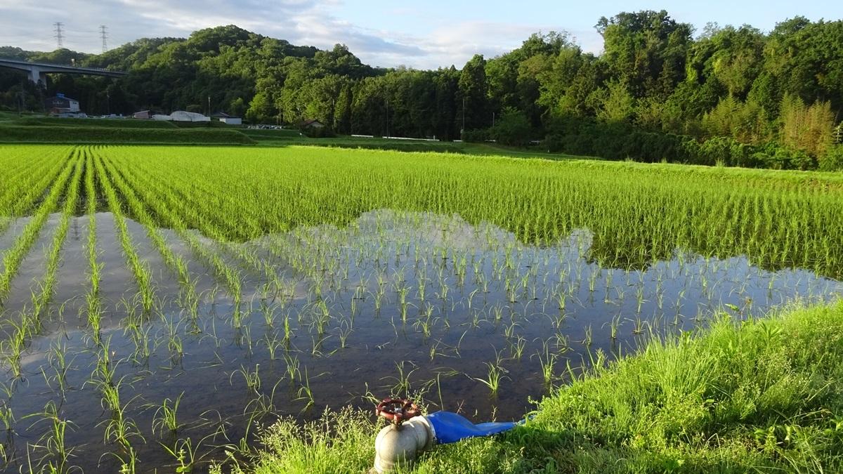 田んぼの美しい時期です。_d0181824_16181742.jpg