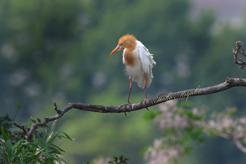 アマサギ(Cattle egret)・・・1_d0013455_21342496.jpg