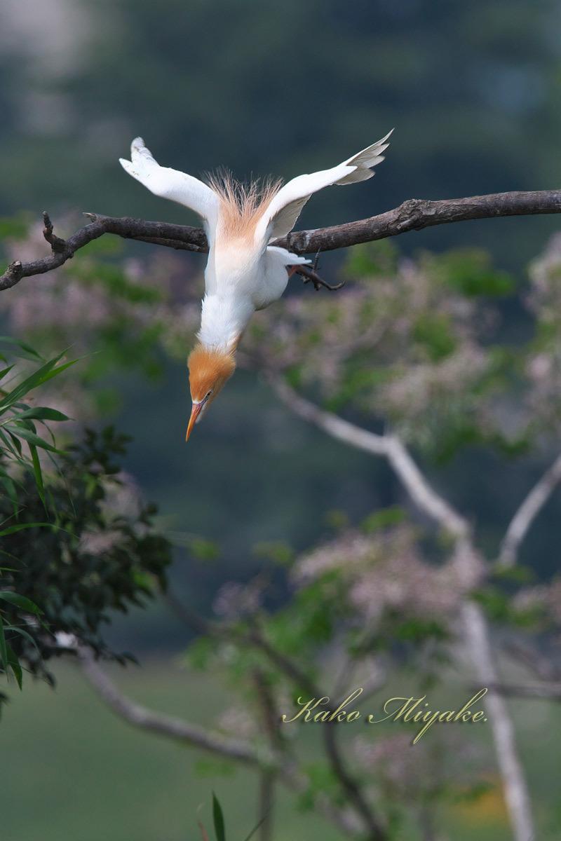 アマサギ(Cattle egret)・・・1_d0013455_21343596.jpg