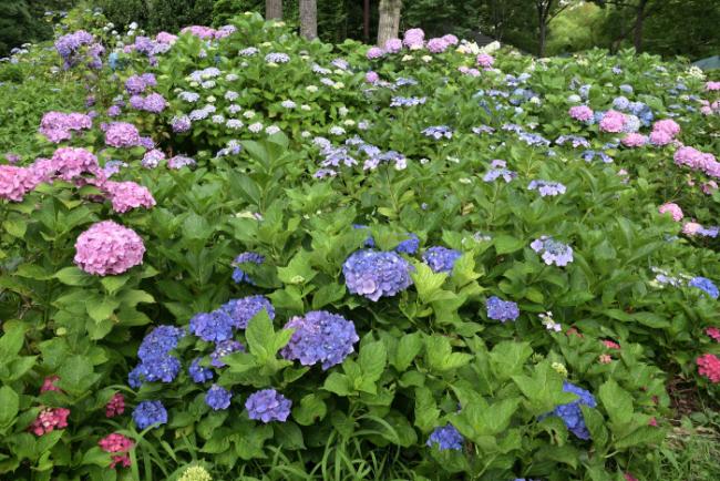 紫陽花の季節がやってきた_b0183370_16335142.jpg