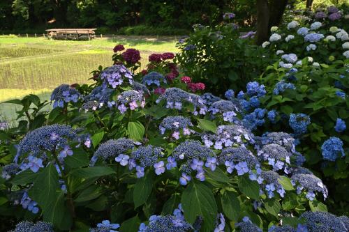 紫陽花の季節がやってきた_b0183370_16335938.jpg