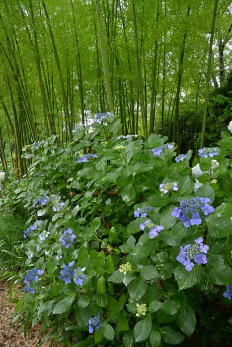 紫陽花の季節がやってきた_b0183370_16340932.jpg