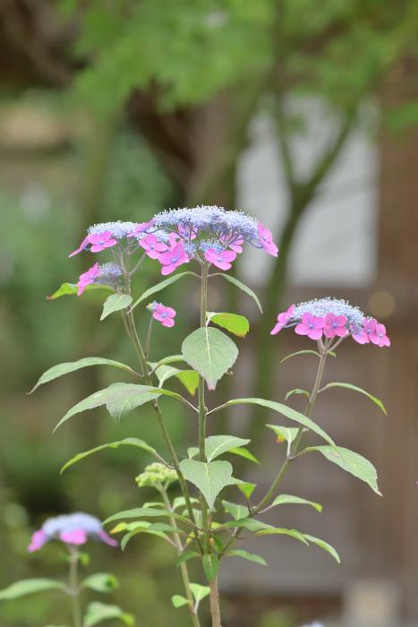 紫陽花の季節がやってきた_b0183370_16342652.jpg