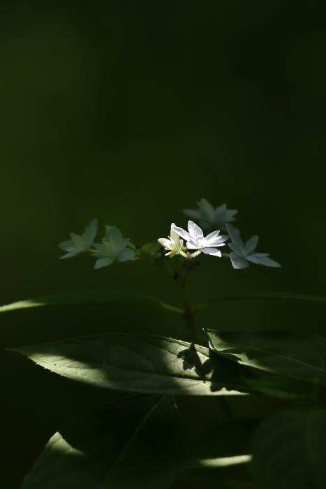 紫陽花の季節がやってきた_b0183370_20532236.jpg
