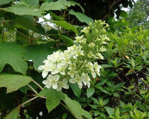 路傍の花、樹々の鳥(410) ~ 早くも紫陽花の季節 ~_b0102572_09413718.jpg