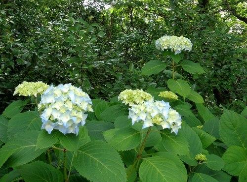 路傍の花、樹々の鳥(410) ~ 早くも紫陽花の季節 ~_b0102572_17193029.jpg