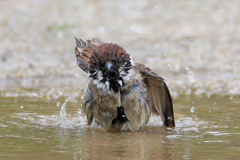 ★カイツブリのヒナが成長中!先週末の鳥類園(2021.5.22~23)_e0046474_16293305.jpg