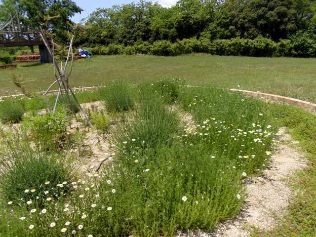 富浜緑地の花壇でハーブの花が咲いています!_d0338682_13373122.jpg