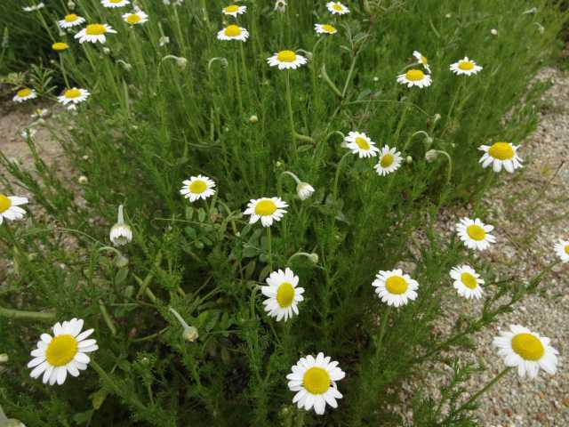 富浜緑地の花壇でハーブの花が咲いています!_d0338682_13382693.jpg