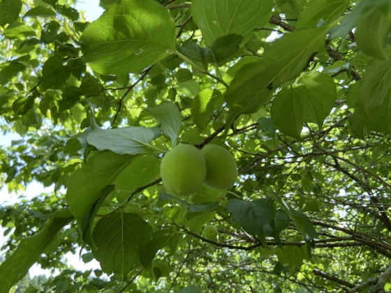 梅を販売いたします。_d0161105_09463254.jpg