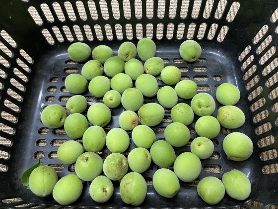 梅を販売いたします。_d0161105_09470956.jpg