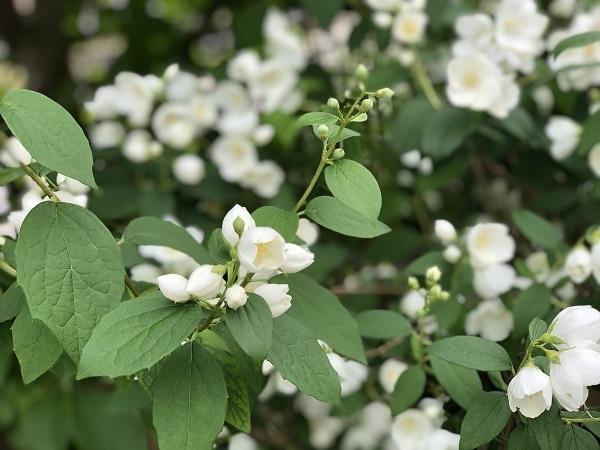 筑波山と庭の花と梅仕事_b0100229_14054624.jpg