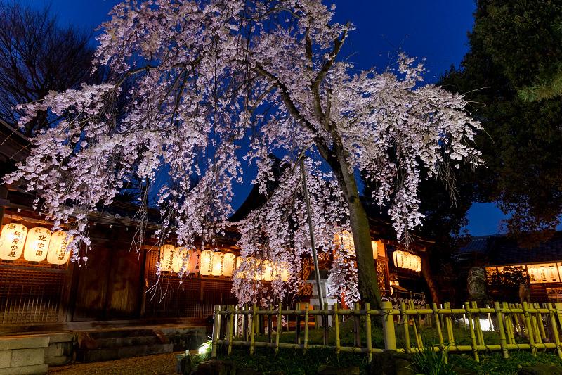 2021桜咲く京都 縣神社の木乃花桜_f0155048_22592226.jpg