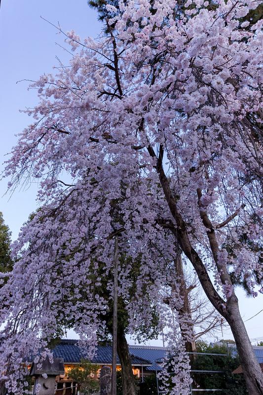 2021桜咲く京都 縣神社の木乃花桜_f0155048_22593807.jpg