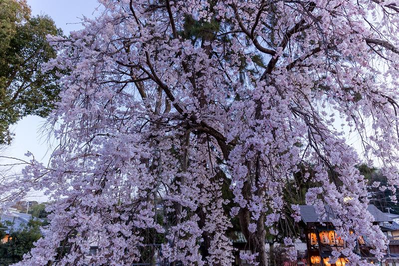 2021桜咲く京都 縣神社の木乃花桜_f0155048_22594607.jpg