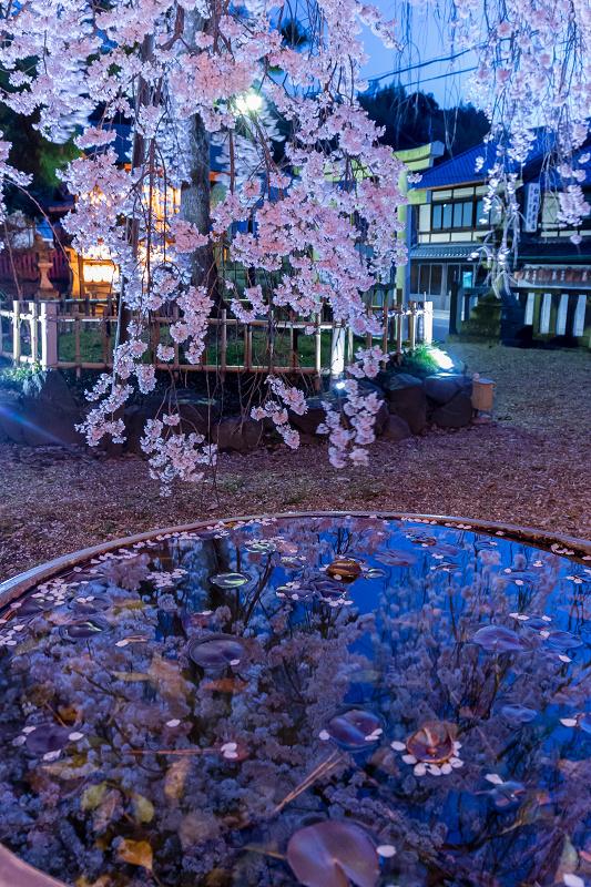 2021桜咲く京都 縣神社の木乃花桜_f0155048_23002407.jpg