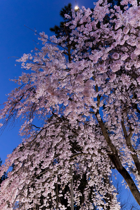 2021桜咲く京都 縣神社の木乃花桜_f0155048_23004748.jpg