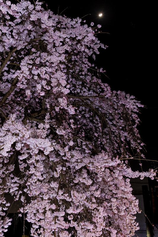 2021桜咲く京都 縣神社の木乃花桜_f0155048_23014712.jpg