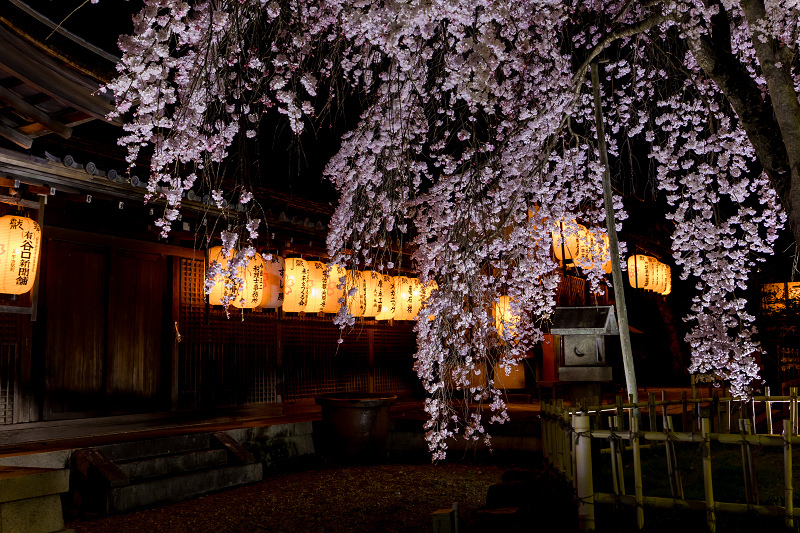 2021桜咲く京都 縣神社の木乃花桜_f0155048_23021612.jpg