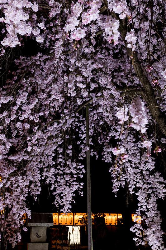 2021桜咲く京都 縣神社の木乃花桜_f0155048_23032621.jpg