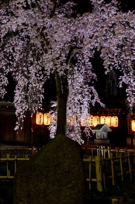 2021桜咲く京都 縣神社の木乃花桜_f0155048_23034640.jpg