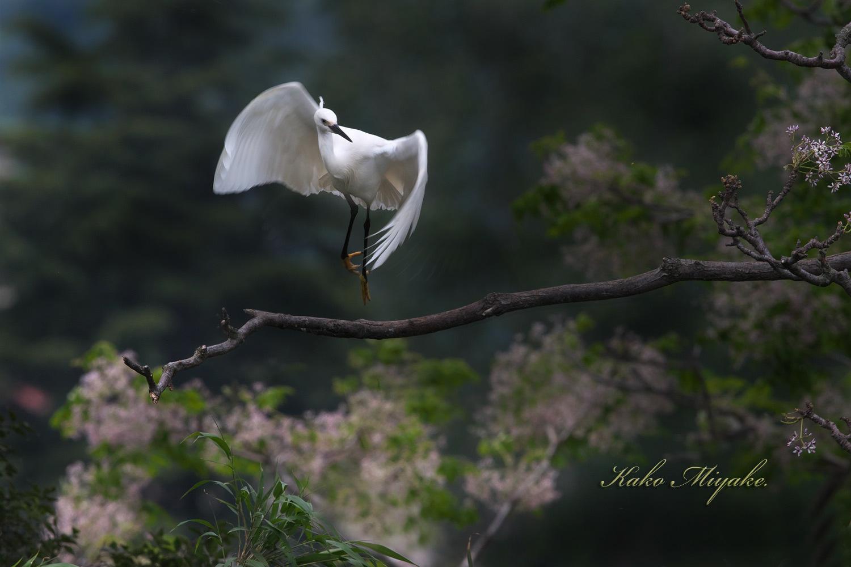 コサギ(Little egret)・・・1_d0013455_21215717.jpg