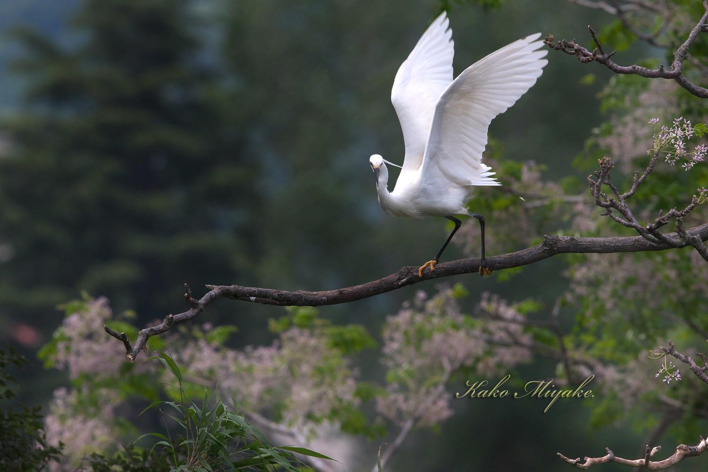 コサギ(Little egret)・・・1_d0013455_21221540.jpg