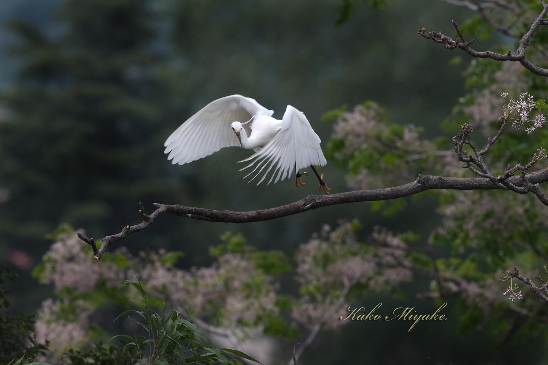 コサギ(Little egret)・・・1_d0013455_21222025.jpg